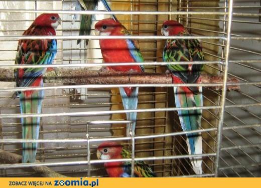 sprzedam rozelle białolice,  Papugi inne cała Polska