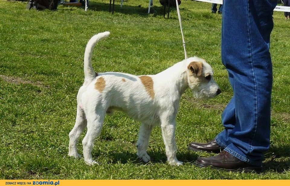 Parson Russell Terrier - super reproduktor zaprasza na randki