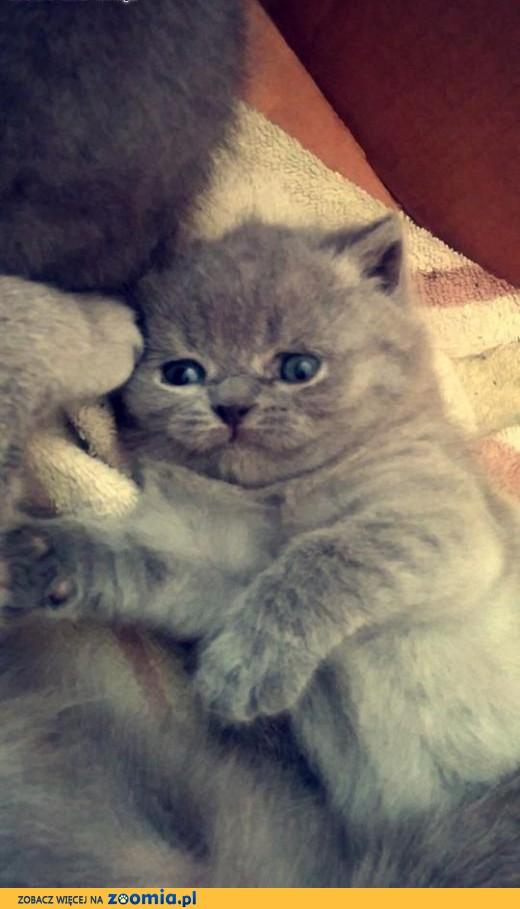 kotki brytyjskie,  podkarpackie Jasło