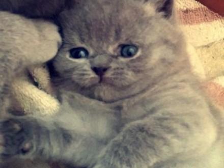kotki brytyjskie   podkarpackie Jasło