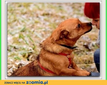 Mały 7 kg grzeczny  nieśmiały spokojny  rudy piesek CEKIN_Adopcja