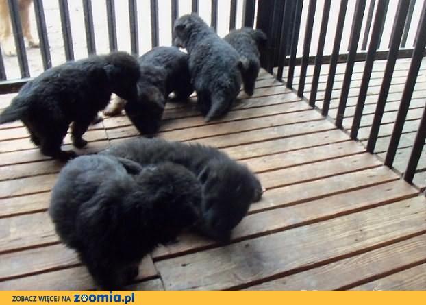 Owczarki Niemieckie długowłose z rodowodem
