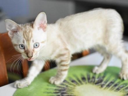 Kocurek Bengalski Jax  koty i kocięta bengalskie z hodowli Aeni Bengal*PL