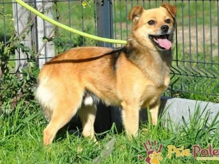 BUBUŚ-piękny mały rudy psiak-potrzebuje spokojnego opiekuna i domu  adopcja