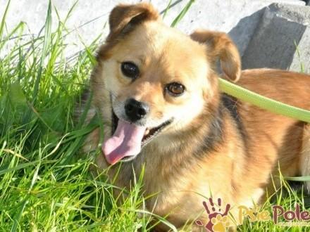 BUBUŚ-piękny mały rudy psiak-potrzebuje spokojnego opiekuna i domu, adopcja