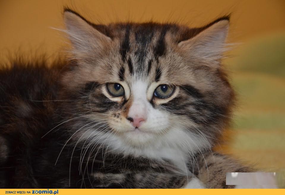 Kot Syberyjski Ogłoszenia Z Hodowli Koty Syberyjskie Zoomiapl Pl 3