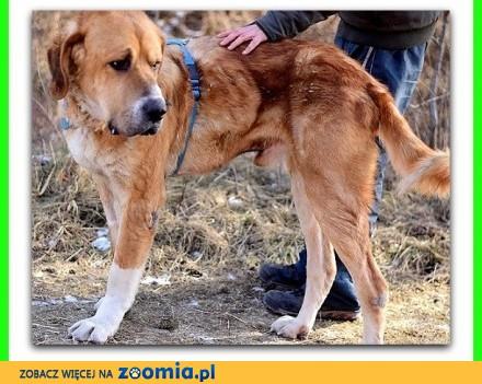 Stróżująco-rodzinny duży 60 kg spokojny przyjacielski pies GOLIAT_Adopcja