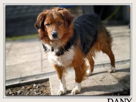 Kochany najwierniejszy średni 18 kg szczepiony psiak DANYAdopcja