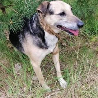 KENT - kochany psiak  przywiązany do drzewa w lesie; szuka domu!   małopolskie Kraków