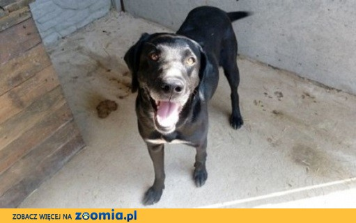 Piękny pies w typie labradora do adopcji
