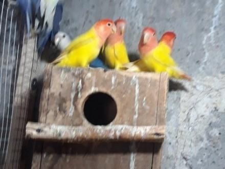 Papugi nierozłączki lęgowe pary