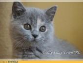 Śliczne kocięta brytyjskie z rodowodem WCF
