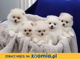 Boże Narodzenie Prezent Kompletne szczenięta AKC reg Pomeranian