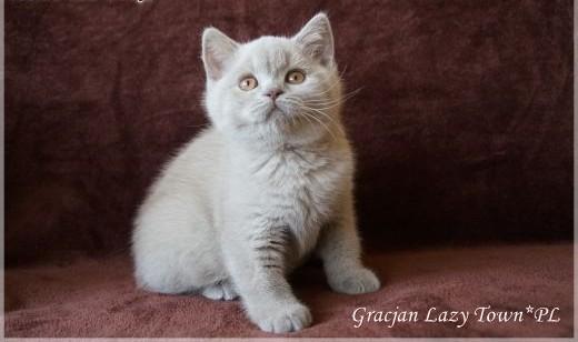 Wspaniałe kocięta brytyjskie ;#8211; rodowód WCF   mazowieckie Grójec