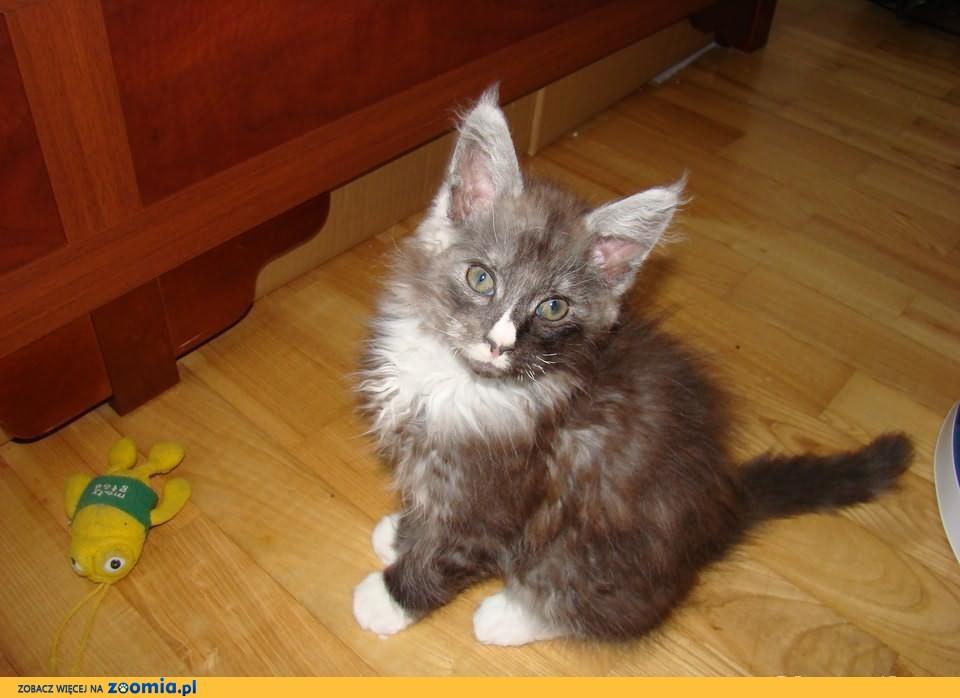 Wesołe niebieskie i czarne kocięta rasy Maine Coon