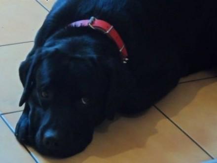 Pilne! Sprzedam  psa w dobre rece Labrador z rodowodem    śląskie Katowice