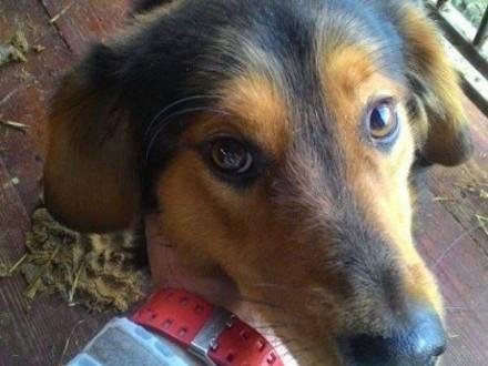 DOLAR ;#8211; mały pies Pomoż go uratować Mamy czas do 13/12/2016   łódzkie Skierniewice
