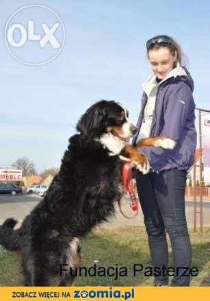 Berneński Pies Pasterski – Bert – adopcja!