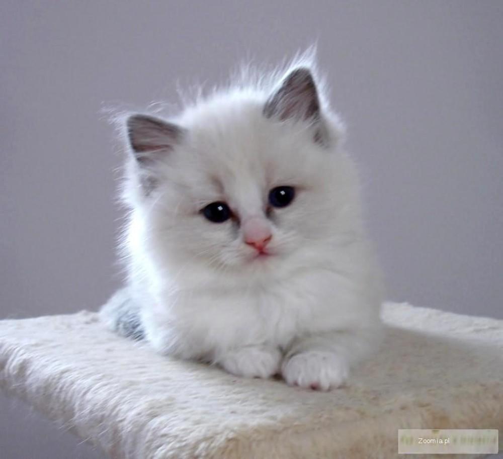 kochane koci ta ragdoll hodowla teo cat pl ragdoll koty archiwum zoomia pl. Black Bedroom Furniture Sets. Home Design Ideas