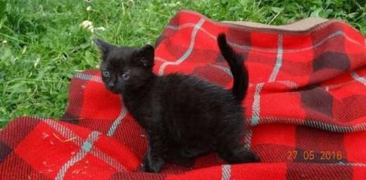 Sprzedam młode koty rosyjskie czarne    małopolskie Andrychów