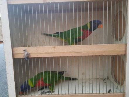 Papugi Lorysy gorskie