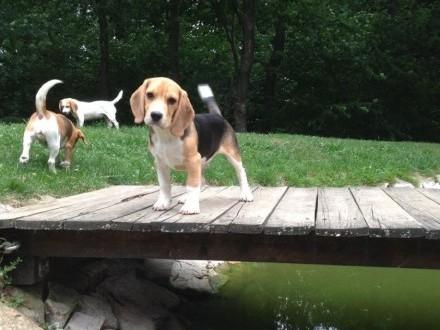 Beagle  Bigl - piesek rodowodowy po chionie