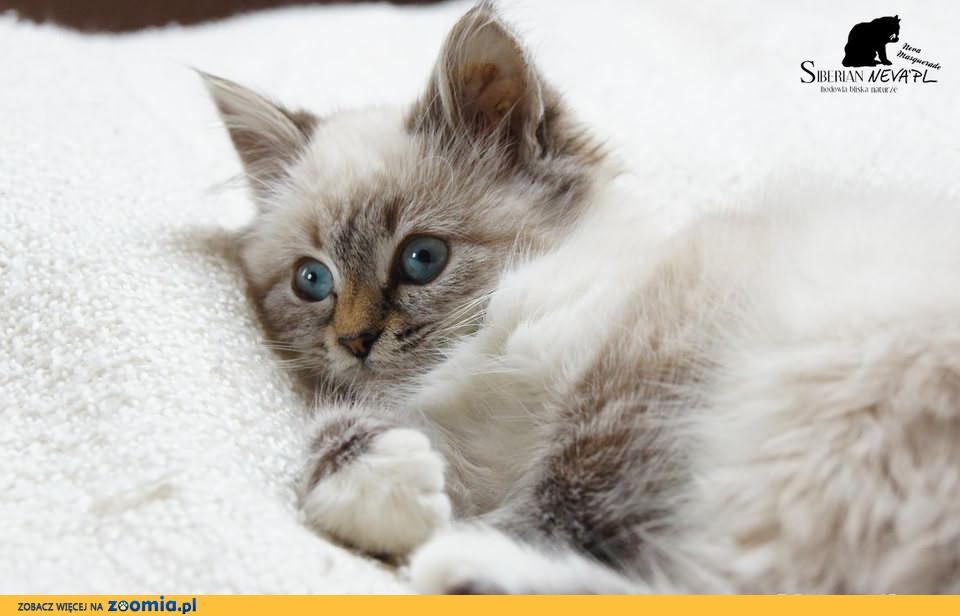 Kotka O Lazurowym Spojrzeniu Neva Masquerade Syberyjski Koty