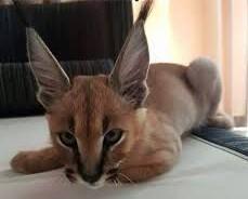 Dostępne kocięta Savannah i serval caracal oraz Ocelot   Koty tonkijskie cała Polska