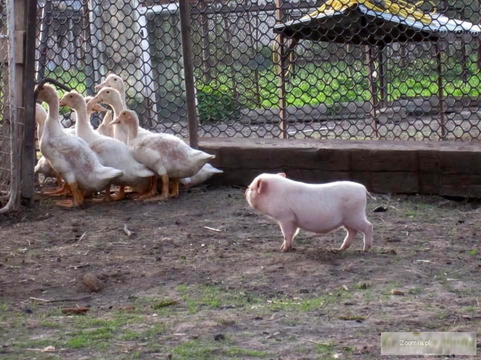 mikro świnki, mini świnki, świnka miniaturowa