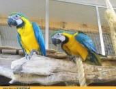 Żółte ptaki ara piersi