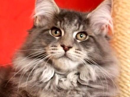 Kot Maine Coon Ogłoszenia Z Hodowli Koty Maine Coon Zoomiapl Pl 23