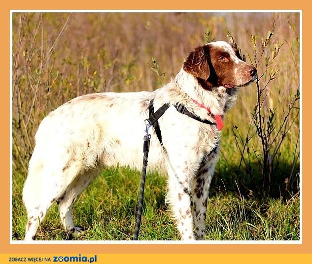 W typie setera,przyjazny,łagodny,grzeczny,dosyć duży pies TAKO_Adopcja