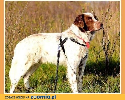 W typie setera przyjazny łagodny grzeczny dosyć duży pies TAKO_Adopcja