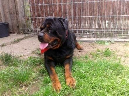Kochany rottweiler do adopcji - czeka na nowy dom!