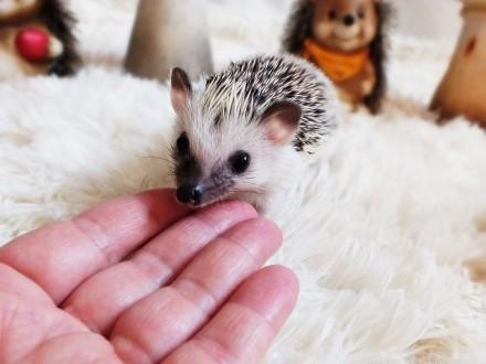 Jeż pigmejski mały chłopczyk Panda 2miesięczny Pięknie OSWOJONY! BlaBlaCar