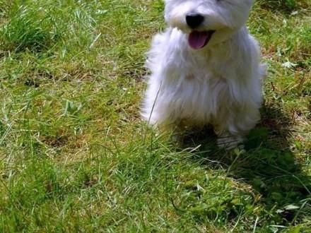 West Higland White Terrier reproduktor /krycie