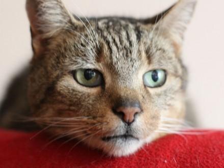 CYSIA - cudowna kotka szuka domu/ Poznań