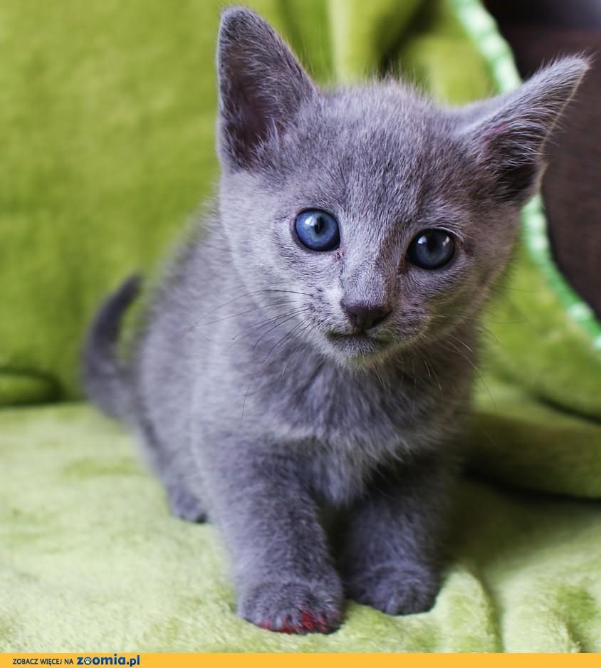 Rasowe Kocięta Rosyjskie Niebieskie Rosyjski Niebieski Koty