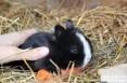 Sprzedam króliczki miniaturki holenderskie do 1kg.