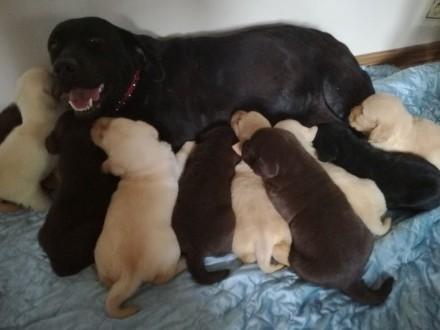 Labrador rodowodowe szczenięta po Chion Polski i Włoch