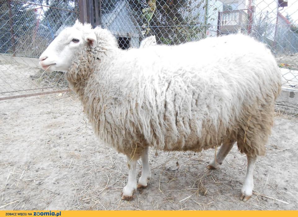 Owca Merynos