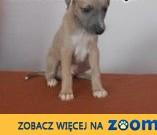 Chart Angielski Whippet,  mazowieckie Warszawa