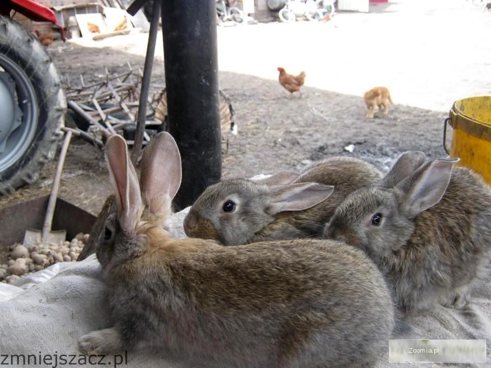 Królik,króliki,Belgijskie