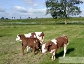 cielęta mięsne,byki mięsne,sprzedam byczki,ciele,cielak