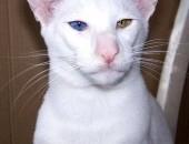 biały orient , kocięta syjamskie i orientalne