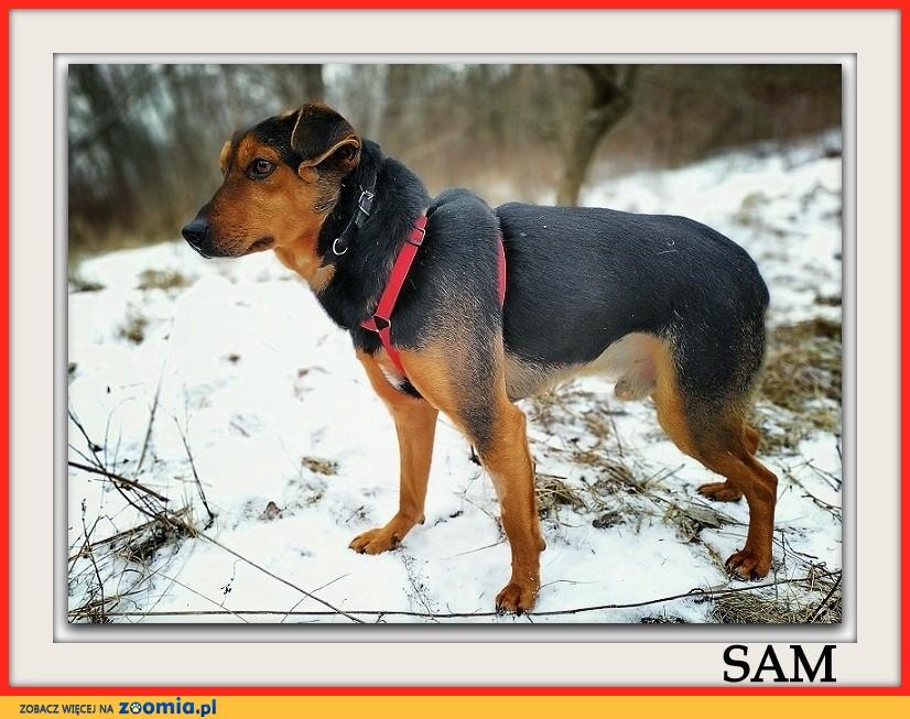 Średnio aktywny,przyjazny,zaszczepiony,nieduży piesek SAM_Adopcja_