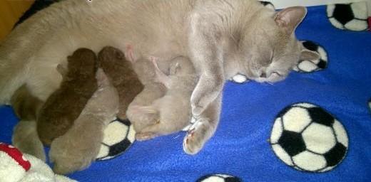 PRZEPIEKNE Kocięta brytyjskie  doskonały rodowód PZF- DO ODBIORU !   dolnośląskie Żarów