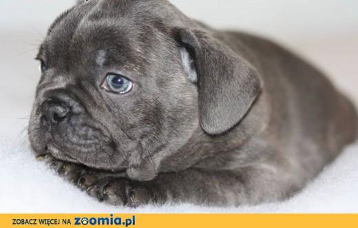 niebieskie francuski szczenięta na sprzedaż (samiec i samica),  Buldog cała Polska
