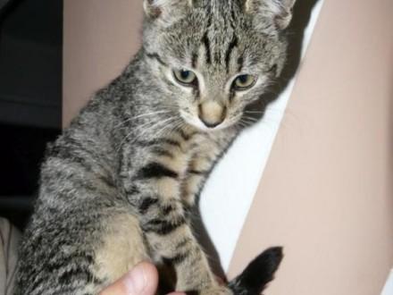3 miesięczny tygrysek oczekuje na adopcję :)