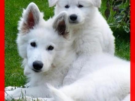 Unikalne Biały Owczarek Szwajcarski długowłose szczeniaki odbiór czerwiec DE12